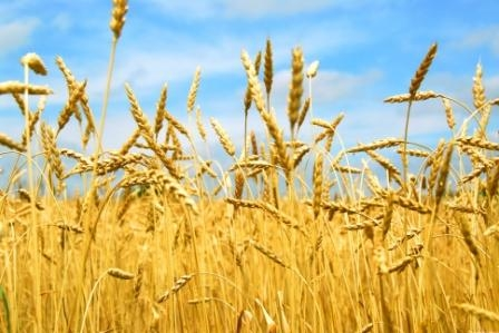 The European Union could cut exports of wheat by 30%