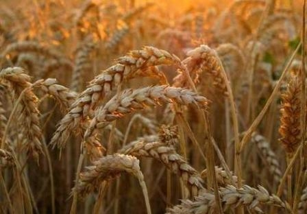 The increased supply puts pressure on wheat markets